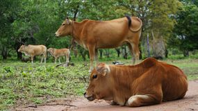 Giovane mucca sulla masticazione del prato Immagine Stock