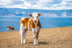 Giovane mucca sulle rive Fotografie Stock