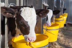 Giovane mucca in una stalla immagine stock libera da diritti