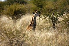 Giovane nascondersi della giraffa Fotografie Stock