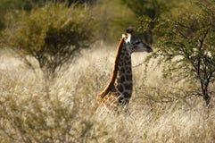 Giovane nascondersi della giraffa Immagini Stock