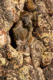 Giovane Olive Baboon Fotografie Stock
