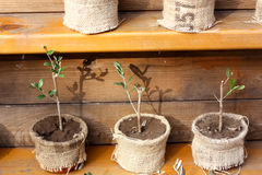 Giovane Olive Plants Fotografia Stock Libera da Diritti