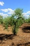 Giovane Olive Tree Immagini Stock