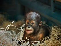 Giovane orangutan Fotografie Stock Libere da Diritti