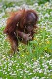 Giovane orangutan del bambino Fotografie Stock Libere da Diritti