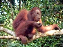 Giovane orangutan selvaggio, Borneo centrale Fotografia Stock Libera da Diritti