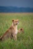 Giovane orgoglio dei leoni (Serengeti, Tanzania) Fotografie Stock