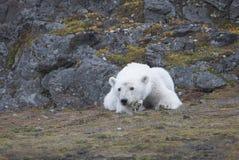 Giovane orso polare nell'Artide immagine stock