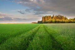 Giovane paesaggio del giacimento di cereale alla luce dorata Fotografie Stock Libere da Diritti