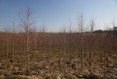Giovane paesaggio della foresta degli alberi di betulla di Brown nell'autunno Lithua di primavera Immagini Stock Libere da Diritti