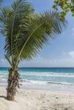 Giovane palma Barbados Fotografia Stock