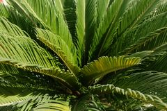 Giovane palma da sago nell'Oman, Salalah Fotografia Stock