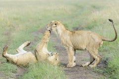Giovane panthera Leo dei leoni che gioca insieme Immagini Stock