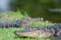 Giovane parco di stato delle primavere della magnolia dell'alligatore Immagini Stock Libere da Diritti
