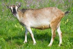 Giovane pascolo della capra Immagini Stock