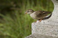 Giovane passero femminile sulla scultura di pietra Immagini Stock