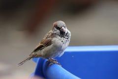 Giovane passero maschio Fotografia Stock