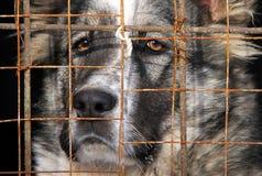 Giovane pastore centroasiatico Dog in una gabbia fotografia stock libera da diritti