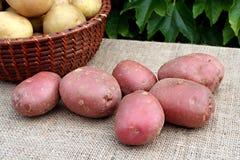 Giovane patata Fotografie Stock Libere da Diritti