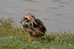 Giovane pavoneggiarsi di Mallard Duck Drake Fotografie Stock