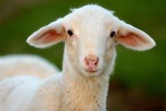 Giovane pecora Fotografia Stock