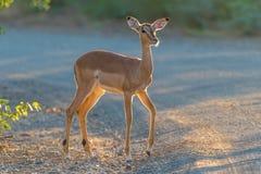 Giovane pecora dell'impala nei primi raggi del sol levante fotografia stock libera da diritti