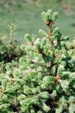 Giovane pelliccia-albero Fotografia Stock