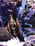 Giovane pesce pipistrello di Teira o di platax teira o pesce pipistrello di Longfin o pesci angelo del longfin fotografie stock