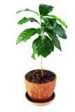 Giovane pianta conservata in vaso dell'arabica del caffè isolata fotografia stock