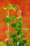 Giovane pianta da appartamento Fotografia Stock