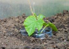 Giovane pianta dei cetrioli della serra Immagine Stock Libera da Diritti