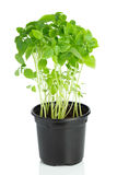 Giovane pianta del basilico in un vaso di plastica su bianco fotografia stock libera da diritti