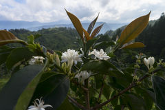 Giovane pianta del caffè Immagini Stock Libere da Diritti