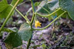 Giovane pianta del cetriolo durante l'innaffiatura nella serra Immagine Stock