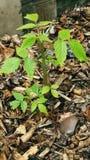 Giovane pianta del lampone fotografia stock