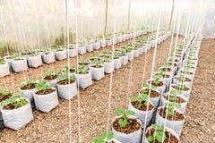Giovane pianta del melone nel sacchetto di plastica bianco in serra Fotografia Stock