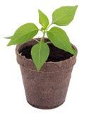 Giovane pianta del peperoncino Fotografia Stock Libera da Diritti