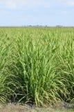 Giovane pianta della canna da zucchero fotografia stock