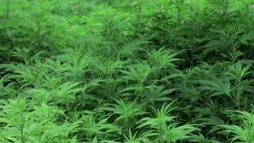Giovane pianta della cannabis nel ciclo del veg soffiato tramite il flusso d'aria del fan video d archivio
