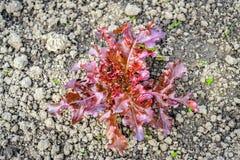 Giovane pianta della lattuga di foglia della quercia rossa nella terra alla fine Immagine Stock