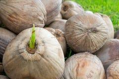 Giovane pianta della noce di cocco Immagine Stock