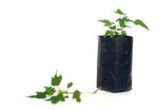 Giovane pianta della papaia in borsa di piantatura di plastica e sul pavimento Fotografia Stock