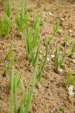 Giovane pianta di cipolla verde Fotografia Stock
