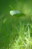 Giovane pianta di fagiolo Fotografie Stock Libere da Diritti