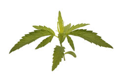 Giovane pianta di marijuana Immagini Stock