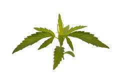 Giovane pianta di marijuana Immagini Stock Libere da Diritti