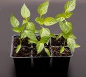 Giovane pianta di peperone dolce immagine stock