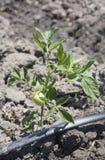 Giovane pianta di pomodori che cresce con il sistema dell'irrigazione a goccia Fotografia Stock Libera da Diritti