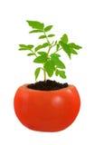 Giovane pianta di pomodori che cresce, concetto di sviluppo Fotografie Stock